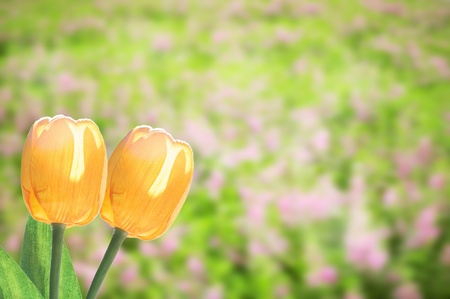 Tulip flower with beautiful background