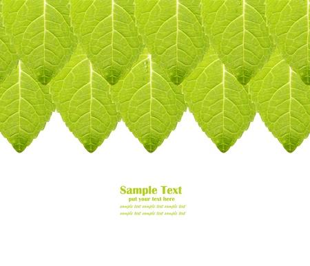 spearmint: Fresh mint leaf background isolated on white background