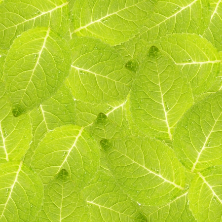 Fresh mint leaf background photo