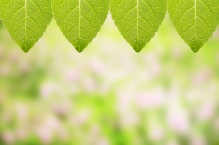 Fresh mint leaf with garden background