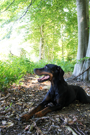 observed: black brown Doberman Observed his surroundings Exactly Stock Photo