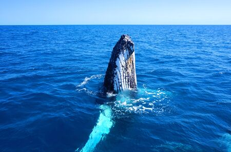 Humpback Whale in clear blue water close to Hervey Bay and Fraser Island in Australia Stok Fotoğraf