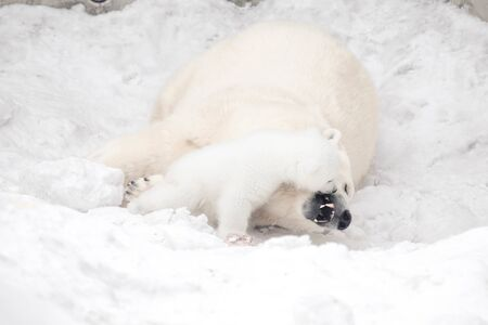 Little polar bear cub is playing with its mom