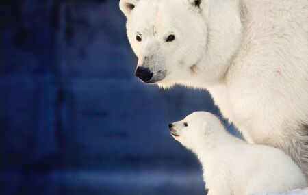 Little polar bear cub with big bear