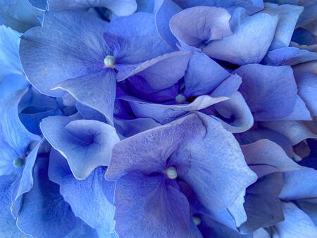 Background of beautiful blue hydrangea or hortensia flower close up