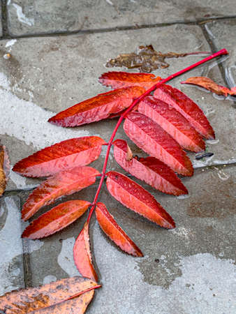 Yellow autumn Rowan leaf in water drops Standard-Bild