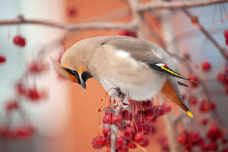 Bohemian waxwing winter passerine bird feeding on berries Archivio Fotografico