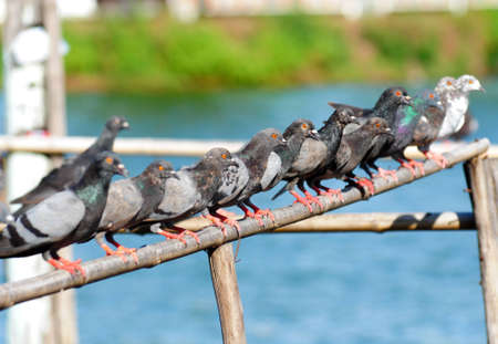 Many of pigeon in line photo