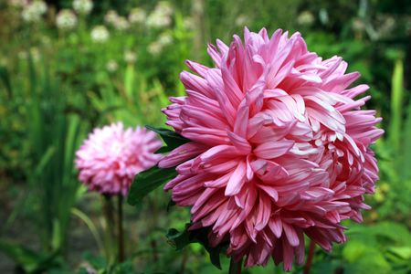 asterix: Beautiful pink aster bloomed in the garden.