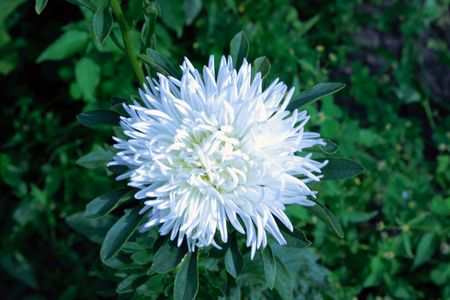 asterix: Beautiful white aster bloomed in the garden. Stock Photo