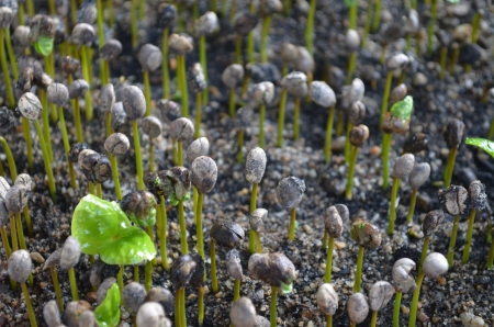 Coffee seedlings  Stock Photo
