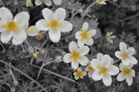 creeping: Black,white and yellow of Creeping daisy Stock Photo