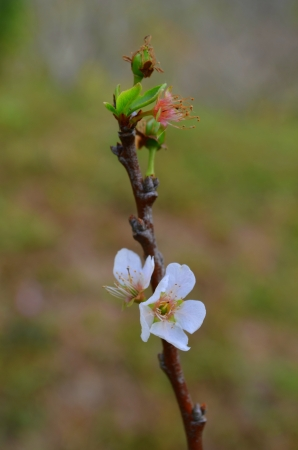 Prunus persica photo