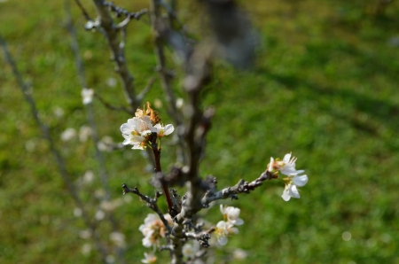 White Prunus persica photo