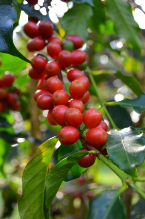 Coffee cherries photo
