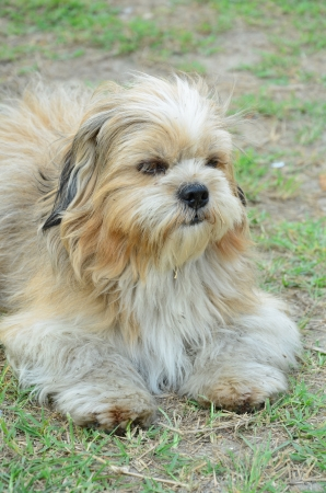 Shih Tzu Stock Photo - 18782228