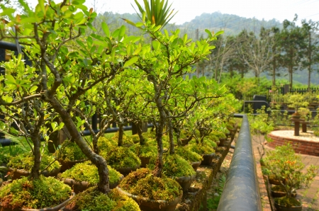 Bonsai at Doi Ang Khang,Thailand photo