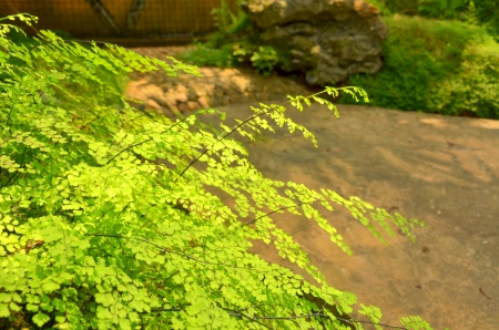 Adiantum in Thailand garden photo