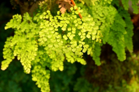 Adiantum photo