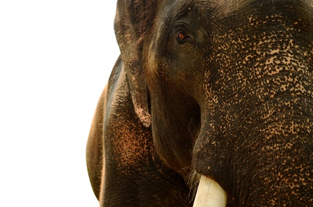 Close-up elephant on white background photo
