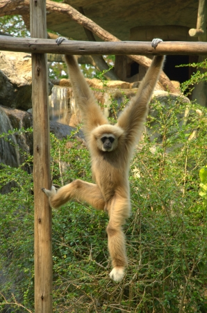 Lar Gibbon photo