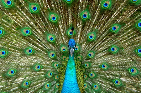 indian peafowl: Peacock displaying his colorful feathered tail