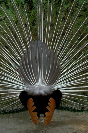 Bottom peacock Stock Photo - 19161431
