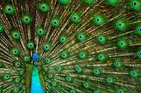 blue peafowl: Peacock