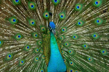 indian peafowl: Peacock