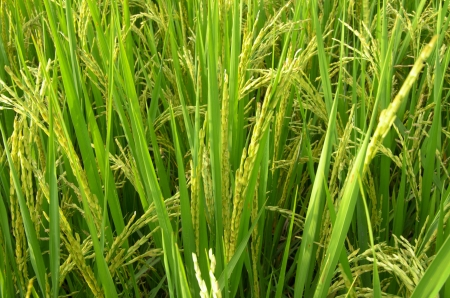 Rice fields background photo