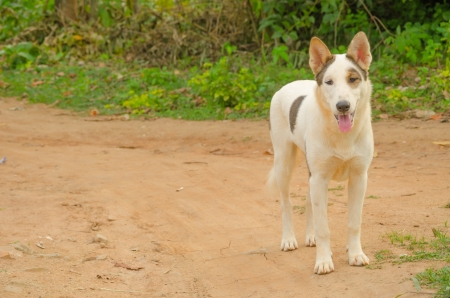 White dog Thailand photo