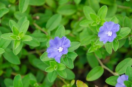Paars van Convolvulaceae bloem in de tuin