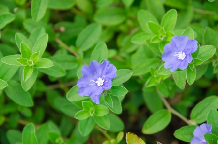 convolvulaceae: Purple of Convolvulaceae flower in the garden Stock Photo