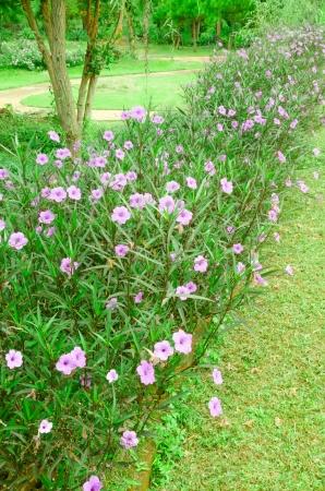 petunia wild: wild petunias or ruellias flower grow in park