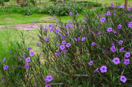petunia wild: violet flower in Thailand garden