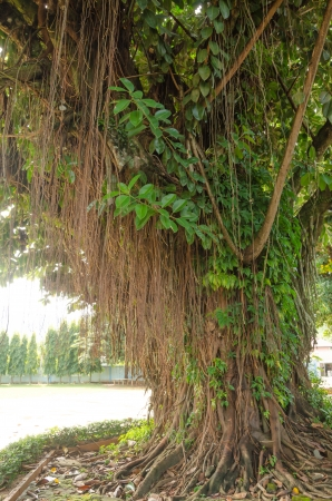 Indian Rubber Tree and big root in the garden