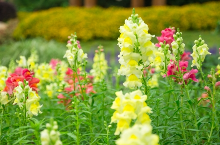 Snapdragon flower in garden park at the King Royal Flora Ratchapruek Chiangmai,Thailand photo