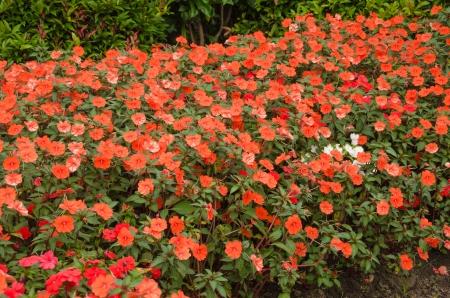 impatiens: Flor Impatiens Foto de archivo