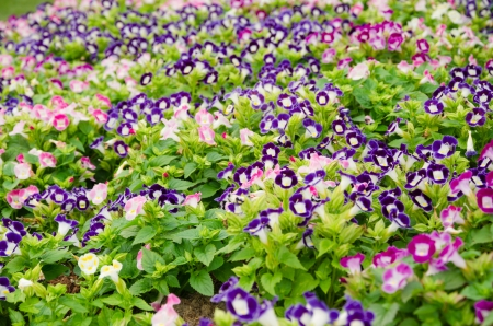 Wishbone flower background ,Torenia fournieri photo