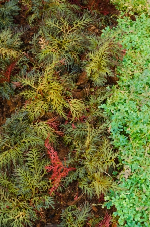 Selaginella erythropus,Spike Moss family in fern sheds Stock Photo - 25367885