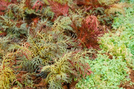 Selaginella erythropus,Spike Moss family in fern sheds Stock Photo - 25367887