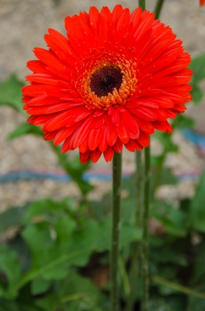 Red gerber flower in garden photo