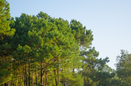 pinaceae: pine forest and blue sky at Pang Oung,Thailand Stock Photo