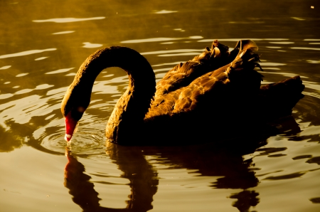 Black swan swimming in the pool in the evening at Pang Oung,Mae Hong Son Thailand photo