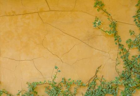 Gele muur en klimop achtergrond