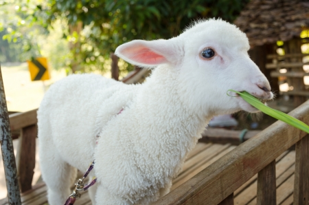 White sheep eating green grass photo