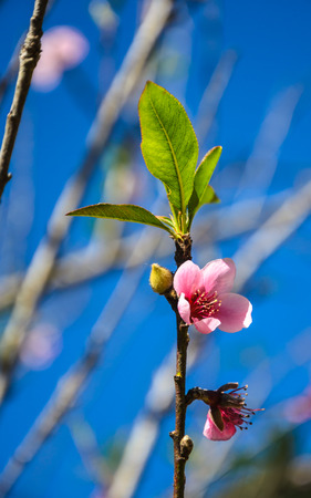 Wild Himalayan Cherry on blue sky photo