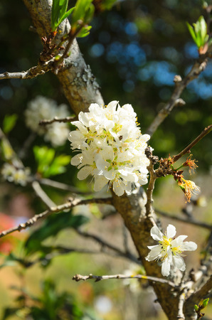 Wild Himalayan Cherry flower photo