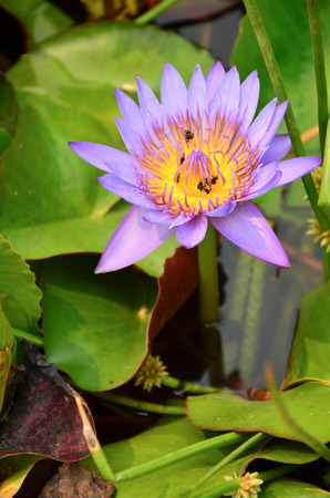 Purple water lilly in the pond photo