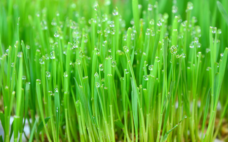 wheatgrass background and water drops Stock Photo